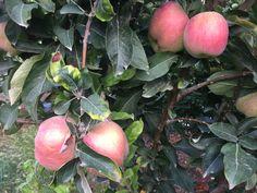Bu elmalar yayladaki bahçemden değil evet inanılmaz ama 165 metre rakımdaki Kuyuluk'da bulunan bahçemden...Yazarken elmasının tadına da baktım umduğundan lezzetliymiş...