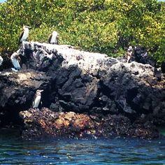 Pingüinos de Galápagos - Isabela - galápagos Ecuador