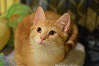Otto - Tabby - Orange