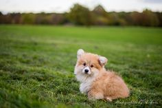 lecorgi:  My first walk in the park, a day after my gotcha day…...