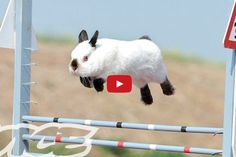 Everyone Has Heard Of Dog Shows...But This Bunny Show Is Just Unbelievable.