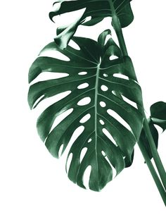 Monstera Delight 4 detailed, premium quality, magnet mounted prints on metal designed by talented artists. Our posters will make your wall come to life. Traditional Frames, Society 6 Tapestry, Print Artist, Canvas Prints, Art Prints, Cool Artwork, Wall Tapestry, Fine Art America, Colorful Backgrounds