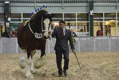 THE WORLD'S largest gathering of shire horses has made its debut at Staffordshire County Showground – and plans are already afoot to return to the venue next year.  The Shire Horse Society...
