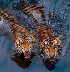 beautiful-wildlife: Tiger CouplebyRobert Cinega