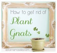 Today I'm giving five easy solutions for how to get rid of gnats in the house that usually come from houseplants.