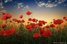 poppies--my other favorite flower