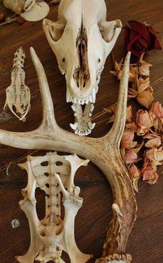 fox skull, antler, roses