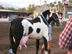 I have seen soooo many black & white tobianos dressed up as cows ... but this one just put them all to shame! The udders!