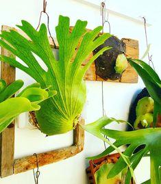 Platycerium sp. Fern Plant, Plant Leaves, Platycerium, Staghorn Fern, Amazing Houses, Plant Decor, Ferns, South America, Indoor Plants