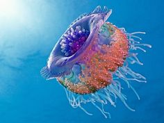 Crown jellyfish by henry jager - animals sea creatures ( jager, red sea, qualle Underwater Life, Underwater Animals, Underwater Creatures, Deep Blue Sea, Ocean Creatures, Weird Creatures, Ocean Life, Planet Ocean, Jellyfish