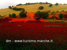 Poppyfield - Marche, Italy