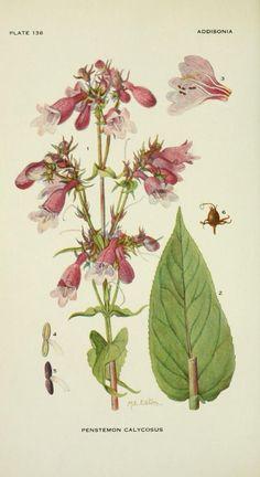 v.4 (1919) - Addisonia : - Biodiversity Heritage Library - penstemon