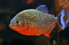 Live Piranha Fish for Sale Online Tropical Freshwater Fish, Freshwater Aquarium Fish, Tropical Fish, Deep Purple, Fish Mounts, Photos Of Fish, Deadly Animals, Live Aquarium Fish, Rainforest Animals