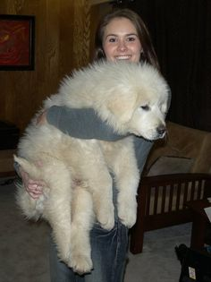 Great Pyrenees puppy at 3 months old Baby Puppies, Cute Puppies, Cute Dogs, Dogs And Puppies, Pyrenees Puppies, Great Pyrenees Puppy, Corgi Puppies, Animals And Pets, Baby Animals