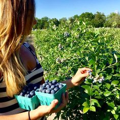 Blueberry Picking at our gorgeous u-pick organic #blueberry farm. Pick giant ORGANIC, Non-GMO, Heirloom #blueberries that are way better tasting. Only $1.66 pint. CALL NOW (609) 561-5905 to schedule same day appointment and get details. Open 7-days week. 9AM to 7PM. Come once, and you will come every summer. They really are that good. Stop on your way back from the Jersey Shore!