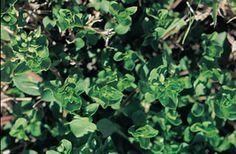 Common Chickweed Weeds In Lawn, Herbs, Herb
