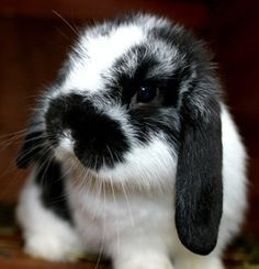 Black and white lop bunny Mini Lop Bunnies, Holland Lop Bunnies, Cute Baby Bunnies, Cute Babies, Bunny Rabbits, Black And White Rabbit, Black Bunny, Bunny Care, Fluffy Bunny