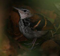 Foto tovaquinha (Dichrozona cincta) por Andrew Whittaker | Wiki Aves - A Enciclopédia das Aves do Brasil