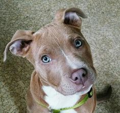 """Stunning Portraits Show Just How Gentle Pit Bulls Are! """"My pit bull pup, Lana."""""""