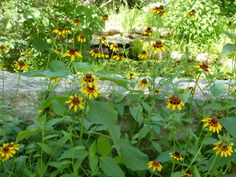 Rudbeckia hirta (Black-eyed susan) - annual, easy to grow, tall, biennial Front Yard Plants, Seed Bank, Black Eyed Susan, Urban Farming, Landscaping Plants, Flower Seeds, Garden Planters, Native Plants, Garden Planning