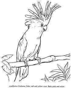 How to draw a cockatoo animals drawings - wildlife id and co Bird Coloring Pages, Coloring Pages For Kids, Coloring Books, Colouring, Free Coloring, Bird Drawings, Realistic Drawings, Animal Drawings, Drawing Animals