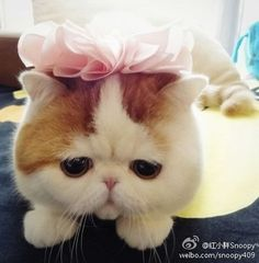 short haired persian kittens - Yahoo Image Search Results