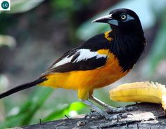 https://www.facebook.com/WonderBirdSpecies/ Venezuelan troupial (Icterus icterus); Colombia, Venezuela, and the Caribbean islands; IUCN Red List of Threatened Species 3.1 : Least Concern (LC)(Loài ít quan tâm) || Hoét Troupial Venezuela; Colombia, Venezuela, và một số đảo vùng biền Caribê; HỌ HOÉT TÂN THẾ GIỚI - ICTERIDAE (Icterids).
