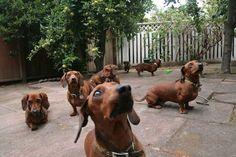 A herd of doxen!