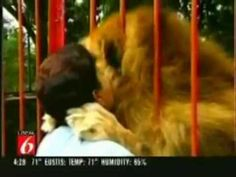 Lion Hugs Rescuer - just amazing !!! - YouTube