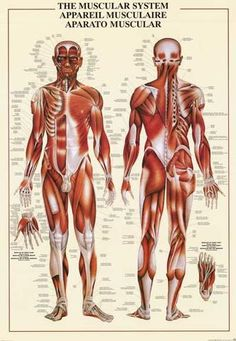 Muscles Muscular System of the Human Body Anatomy Education Poster (Tight Psoas Symptoms) Skeletal And Muscular System, Muscular System Anatomy, Human Body Anatomy, Muscle Anatomy, How To Draw Muscles, Drawing Muscles, Human Figure Drawing, Life Drawing, Body Systems