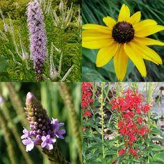 Hummingbird Migration, Plants That Love Shade, Flowers That Attract Hummingbirds, Pocket Garden, Rain Garden, Summer Rain, Black Eyed Susan, Landscaping Plants, Amazing Flowers