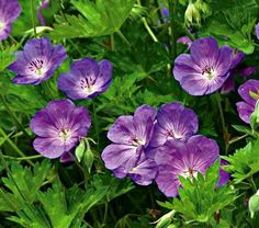 Geranium 'Rozanne'. This Cranesbill blooms all summer without dead heading!