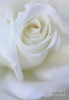 Lovely softness of a white Rose flower design for your home or office. For more white Rose floral designs, please see the artist's White Rose Gallery.Copyright by Jennie Marie Schell. White Rose Flower, Love Rose, Pretty Flowers, Shoulder Tattoos For Women, Shades Of White, Beautiful Roses, Romantic Roses, Flower Designs, Flower Power