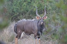 Nyala Bull on Raptors View Widlife Esate House Property, Property For Sale, Close Proximity, Close To Home, Raptors, Wildlife, Homes, Animals, Animales