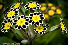 victorian lace primrose - SO pretty!