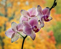 Orchid and autumn by Daykiney.deviantart.com on @DeviantArt