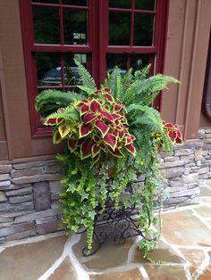 Wire basket overflowing with growth..creeping jenny, ivy, coleus plants, and Kimberly queen fern...