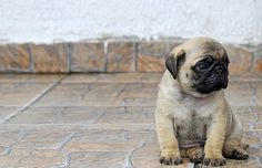 Attack of the Cute Baby Puppies, Baby Dogs, Pug Beagle, Carlin, Lovely Creatures, Tier Fotos, Pug Love, Little Babies, Snuggles