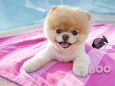 Animals dogs worlds pets pomeranian boo Wallpaper Boo The Cutest Dog, World Cutest Dog, Cutest Dog Ever, Cutest Puppy, Cute Puppies, Cute Dogs, Dogs And Puppies, Baby Dogs, Doggies