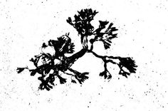 Seaweed Giclee Print Black and White Nautical by galleryzooart, $30.00