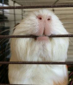 do guinea pigs bite when they are pregnant