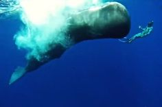 Whale Whisperer gets a sperm whale in the wild to mimic his actions during diving tour in the Caribbean. Photo is a screen grab from the video