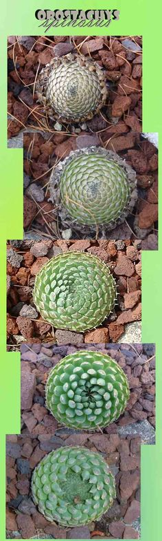 Orostachys - rare and unusual hardy succulents