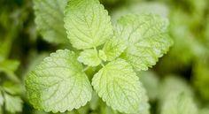 10 Hidden Health Secrets of Mint Leaves