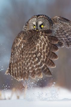 yourstrulyfranca: wondrousworld: Great Gray Owl by Daniel Cadieux More