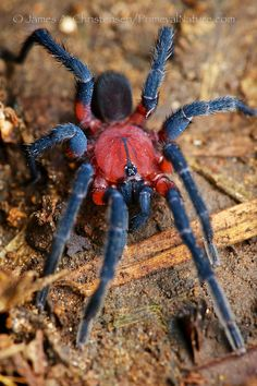 A brush-footed trapdoor spider, apparently either genus Strophaeus or Idiophthalma If it is a Strophaeus this colourful male very likely belongs to an undescribed species of that little known genus of Latin American trapdoor spiders. Mindo, Andean west slope, Ecuador All images © James A. Christensen/PrimevalNature.com Please read my profile before making any request for use.