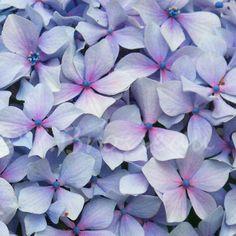 Merveilleuses couleurs d'hortensia en Bretagne