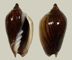 Amoria lineatina