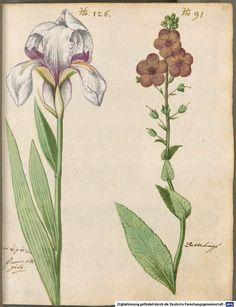 Iris - Hortulus Monheimensis 000189 - 1615