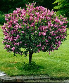 Dwarf lilac on the & trunk- Zwergflieder auf Stamm 'Palibin' Dwarf lilac on the & trunk - Garden Shrubs, Flowering Shrubs, Garden Trees, Trees And Shrubs, Trees To Plant, Shade Shrubs, Backyard Trees, Dwarf Korean Lilac Tree, Dwarf Lilac Tree